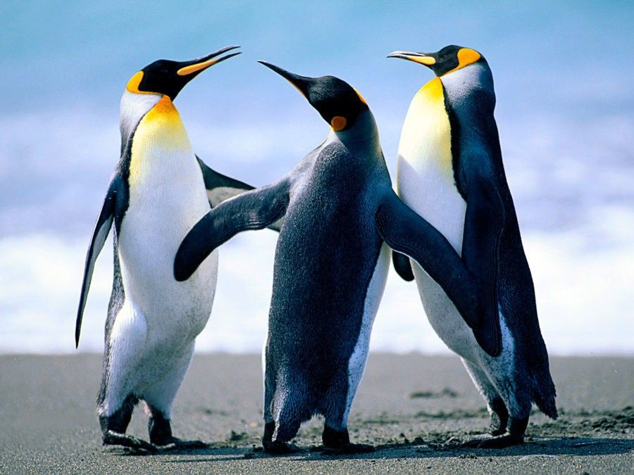 Penguins.